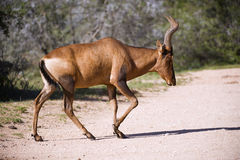 Hartebeest Antelope Royalty Free Stock Photography