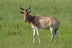 Hartebeest antelope in grasslands of Masai Mara Stock Photo