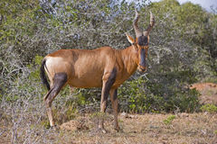 Hartebeest Bull Royalty Free Stock Photo