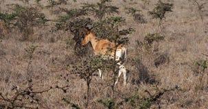 Hartebeest, buselaphus alcelaphus, ζευγάρι που στέκεται στη σαβάνα, πάρκο Masai Mara, Κένυα, απόθεμα βίντεο