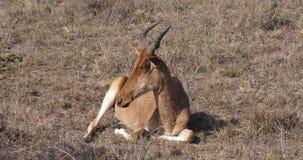 Hartebeest, buselaphus del alcelaphus, adulto que se coloca en sabana, Masai Mara Park, Kenia, almacen de video
