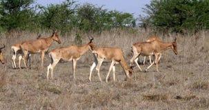 Hartebeest, buselaphus del alcelaphus, manada que se coloca en la sabana, Masai Mara Park, Kenia, almacen de video