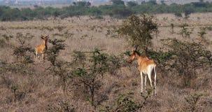 Hartebeest, buselaphus del alcelaphus, manada que se coloca en la sabana, Masai Mara Park, Kenia, almacen de metraje de vídeo