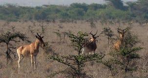 Hartebeest, buselaphus del alcelaphus, manada que se coloca en la sabana, Masai Mara Park, Kenia, metrajes