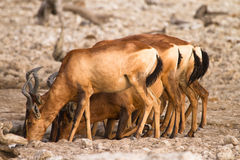 Hartebeest drinking Royalty Free Stock Photos