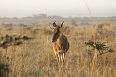 Hartebeest in early morning Royalty Free Stock Photos