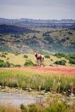 Hartebeest en stationnement de jeu, Afrique du Sud Image stock