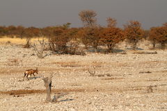 Hartebeest in Etosha National Park in Namibia Stock Photography