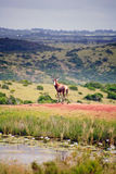 Hartebeest in game park, South Africa Stock Image