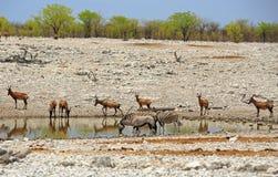 Hartebeest & Hartebeest przy waterhole w Etosha, Gemsbok Oryx Zdjęcia Stock
