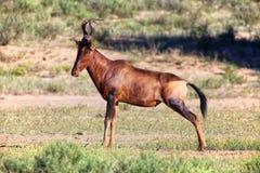 An hartebeest at kgalagadi Royalty Free Stock Images