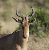 Hartebeest on the Masai Mara Royalty Free Stock Photos
