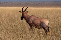 Hartebeest in the Masai Mara Royalty Free Stock Photos