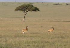 Hartebeest que anda em uma grama no Masai Mara Game Reserve, África imagem de stock