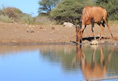 Hartebeest, Red - African Natural Color Royalty Free Stock Images