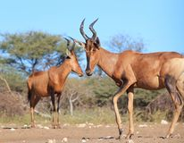 Hartebeest, Red - African Sisters Royalty Free Stock Photos