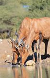 Hartebeest, Red - African Sisters and Family Stock Image