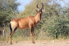 Hartebeest, Red - African Wildlife - Shining Horn of a bull in Prime Stock Image