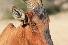 Hartebeest, Red - African Wildlife - Tired old Bull Stock Images