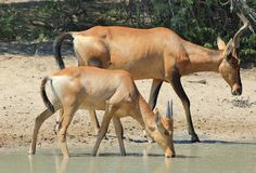 Hartebeest, Red - Animal Moms Royalty Free Stock Image