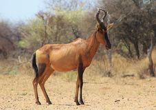 Hartebeest Red - törstig On-looker Arkivfoto