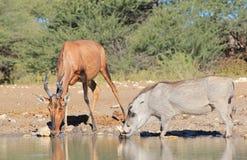 Hartebeest, Red with Warthog - African Natural Color Lizenzfreie Stockfotos