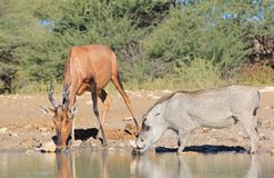 Hartebeest, Red with Warthog - African Natural Color Royalty Free Stock Photos