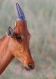 Hartebeest rosso Immagine Stock