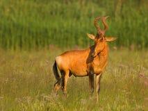 Hartebeest rosso Fotografie Stock Libere da Diritti