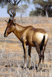 Hartebeest rouge Photographie stock