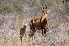 Hartebeest rouge Images libres de droits