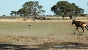 Hartebeest rouge et colombes Photos stock