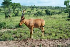 A Hartebeest Standing in the Grass royalty free stock photo