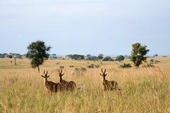 Hartebeest, Uganda, Africa Stock Photography