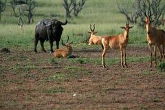Hartebeest, Uganda, Afryka Zdjęcie Stock