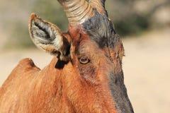 Hartebeest, vermelho - animais selvagens africanos - Bull velha cansado Imagens de Stock