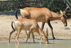 Hartebeest, vermelho - mamãs animais Imagem de Stock Royalty Free