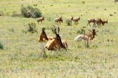 Hartebeest vermelho que descansa entre a grama Fotografia de Stock Royalty Free