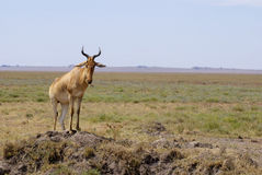 Hartebeest on the watch. HArtebeest in front of the picture looking ahead Royalty Free Stock Photo