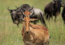 2 Hartebeests стоя в линии стоковое изображение