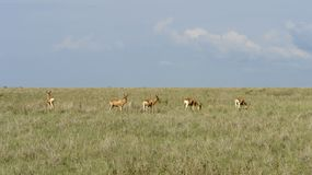 Hartebeests in the savannah Royalty Free Stock Photo