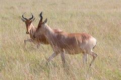 Hartebeests in Serengeti National Park, Tanzania Stock Images