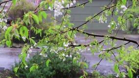 Harter Regen auf Bündel weißen Kirschblüten im Vorfrühling stock footage