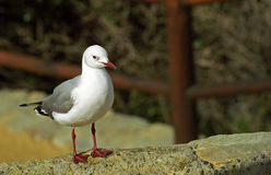 Hartlaub gull, Hermanus, South African Republic. Different kind of sea gulls, like Hartlaub, are abundant at the coast of South African Republic Stock Image