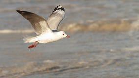 Hartlaub Gull. Hartlaub`s Gull in flight - Pearly Beach - South Africa Royalty Free Stock Photography