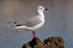 Hartlaub's gull Royalty Free Stock Photography