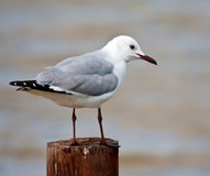 Hartlaub's Gull. Sitting on a pole in the lagoon Royalty Free Stock Photography