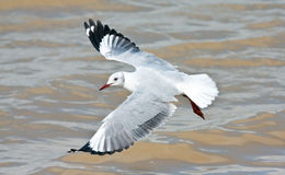 Hartlaub's Gull. Flying over the brown water of the lagoon Royalty Free Stock Photo