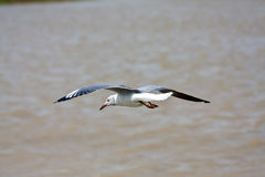 Hartlaub's Gull Royalty Free Stock Photo
