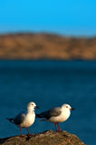 Hartlaub's Gull Stock Image